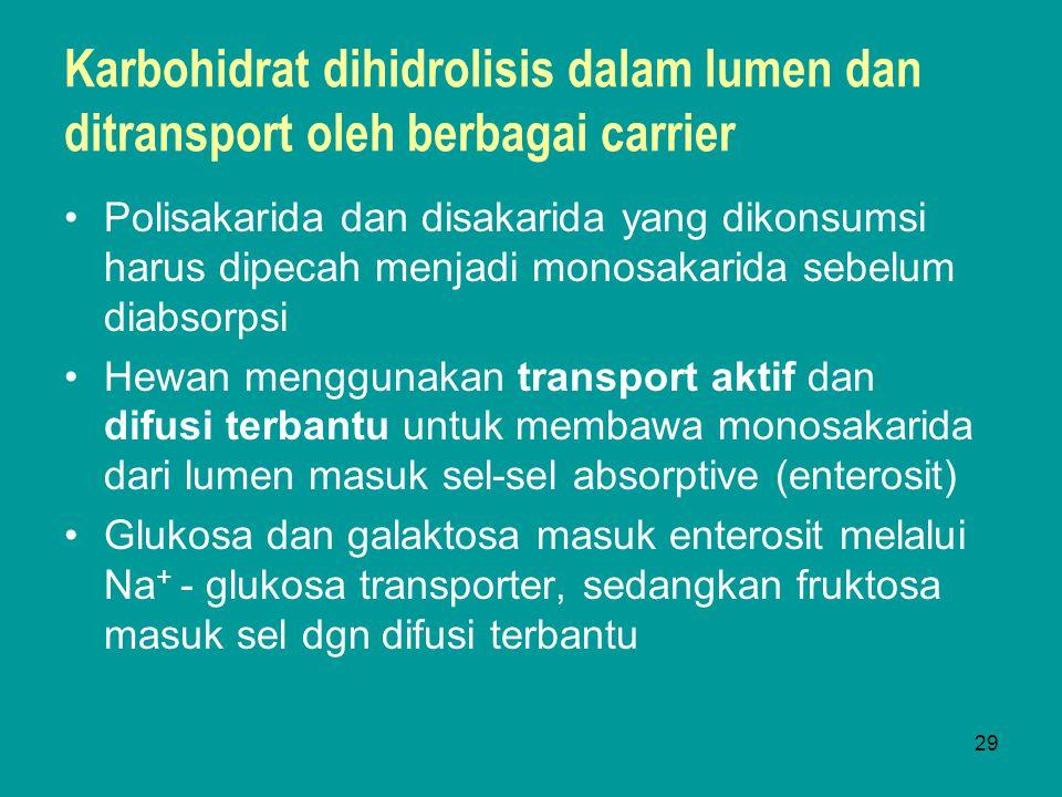 Karbohidrat dihidrolisis dalam lumen dan ditransport oleh berbagai carrier