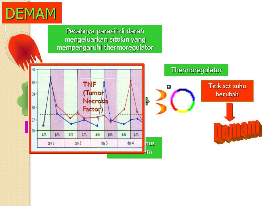 Hypothalamus endothelium