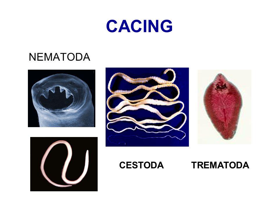 CACING NEMATODA CESTODA TREMATODA
