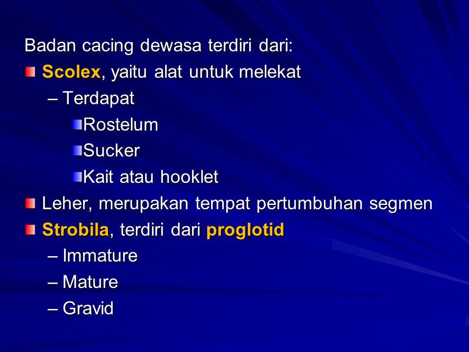 Badan cacing dewasa terdiri dari: