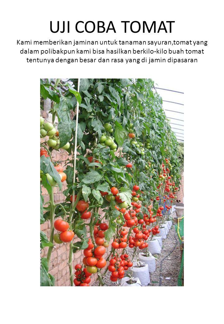 UJI COBA TOMAT Kami memberikan jaminan untuk tanaman sayuran,tomat yang dalam polibakpun kami bisa hasilkan berkilo-kilo buah tomat tentunya dengan besar dan rasa yang di jamin dipasaran