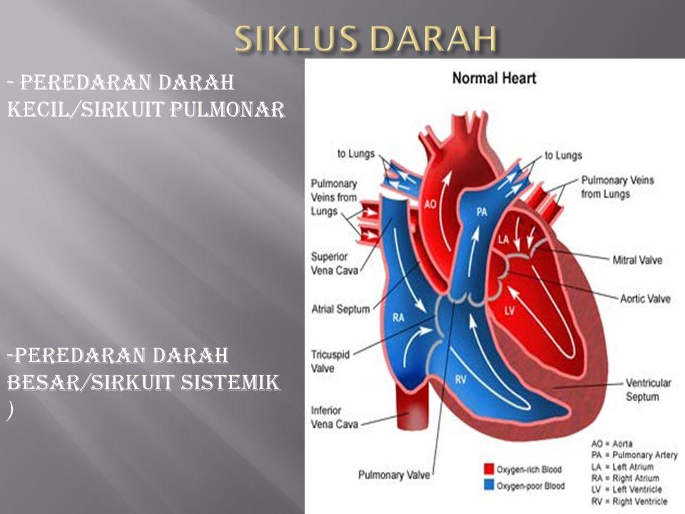 SIKLUS DARAH - peredaran darah kecil/sirkuit pulmonar