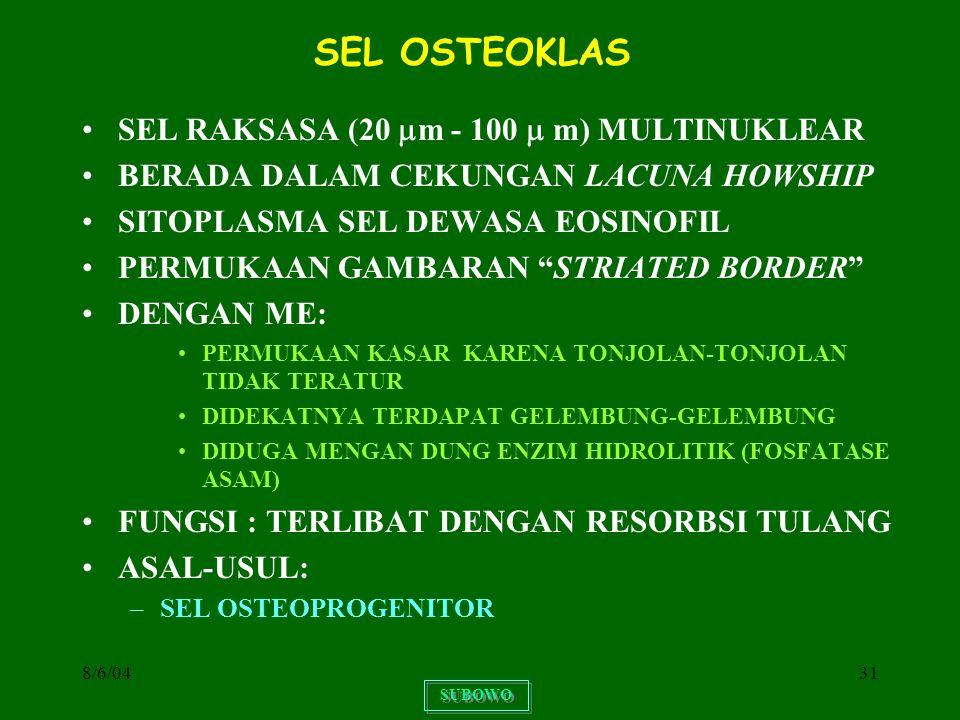 SEL OSTEOKLAS SEL RAKSASA (20 m - 100  m) MULTINUKLEAR