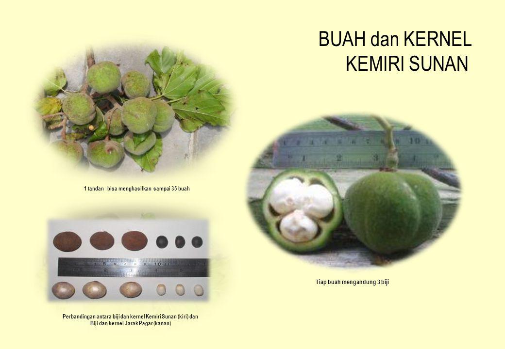 BUAH dan KERNEL KEMIRI SUNAN