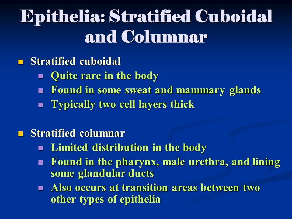 Epithelia: Stratified Cuboidal and Columnar