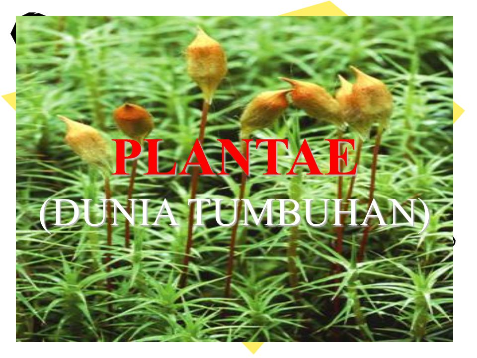 PLANTAE (DUNIA TUMBUHAN) PLANTAE (DUNIA TUMBUHAN)