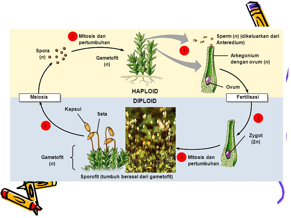 Sporofit (tumbuh berasal dari gametofit)