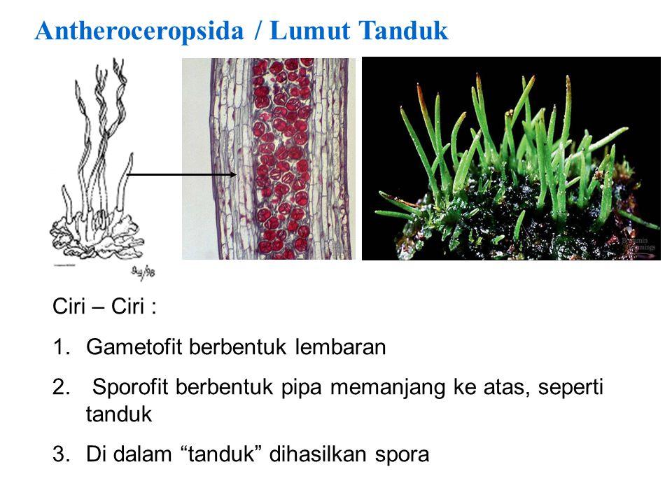 Antheroceropsida / Lumut Tanduk