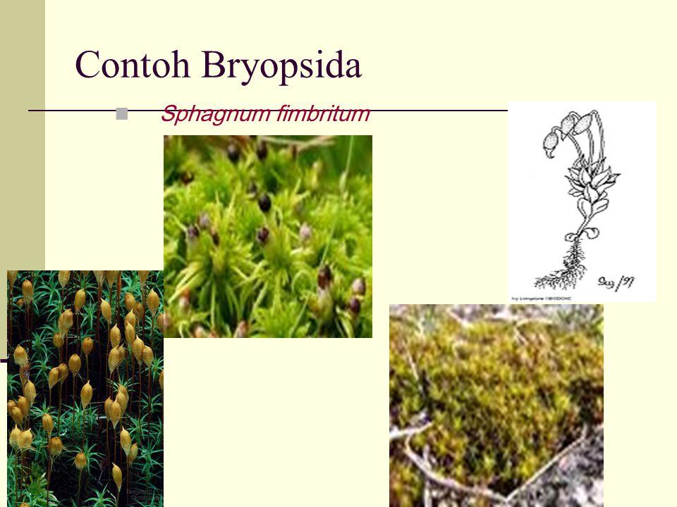 Contoh Bryopsida Sphagnum fimbritum