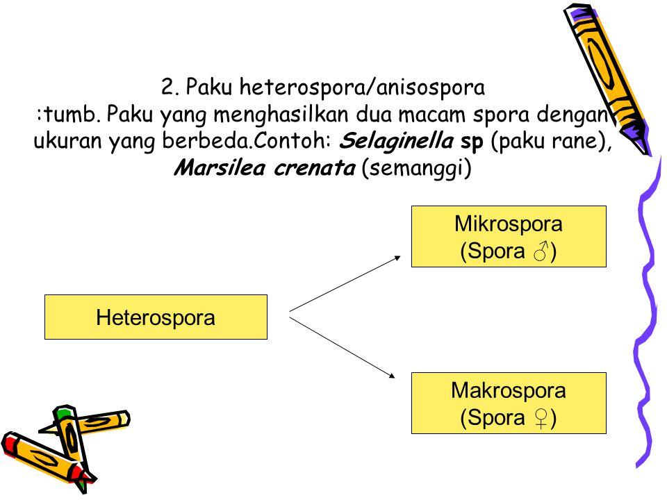 2. Paku heterospora/anisospora :tumb