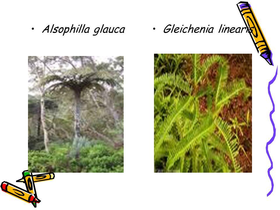 Alsophilla glauca Gleichenia linearis
