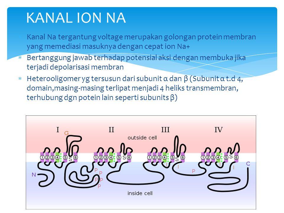 KANAL ION NA Kanal Na tergantung voltage merupakan golongan protein membran yang memediasi masuknya dengan cepat ion Na+