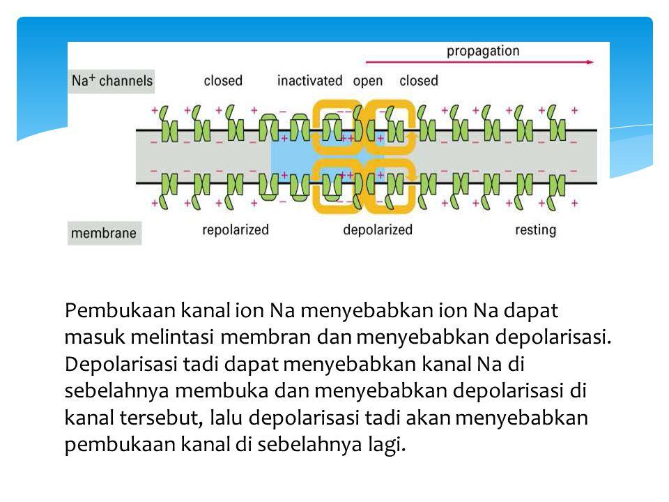 Pembukaan kanal ion Na menyebabkan ion Na dapat masuk melintasi membran dan menyebabkan depolarisasi.