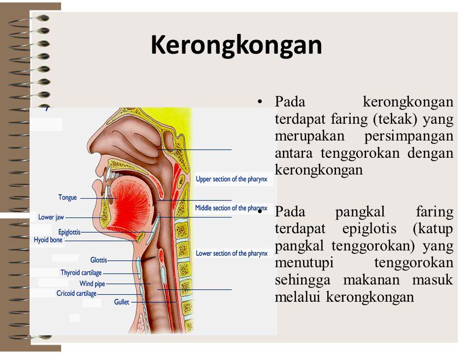Kerongkongan Pada kerongkongan terdapat faring (tekak) yang merupakan persimpangan antara tenggorokan dengan kerongkongan.
