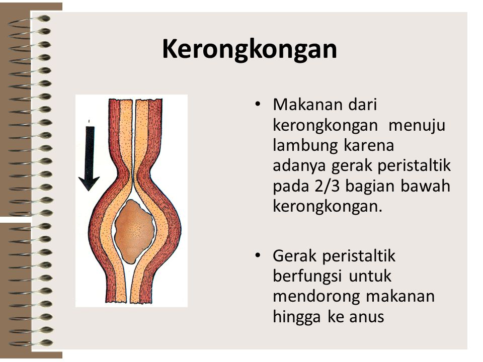 Kerongkongan Makanan dari kerongkongan menuju lambung karena adanya gerak peristaltik pada 2/3 bagian bawah kerongkongan.