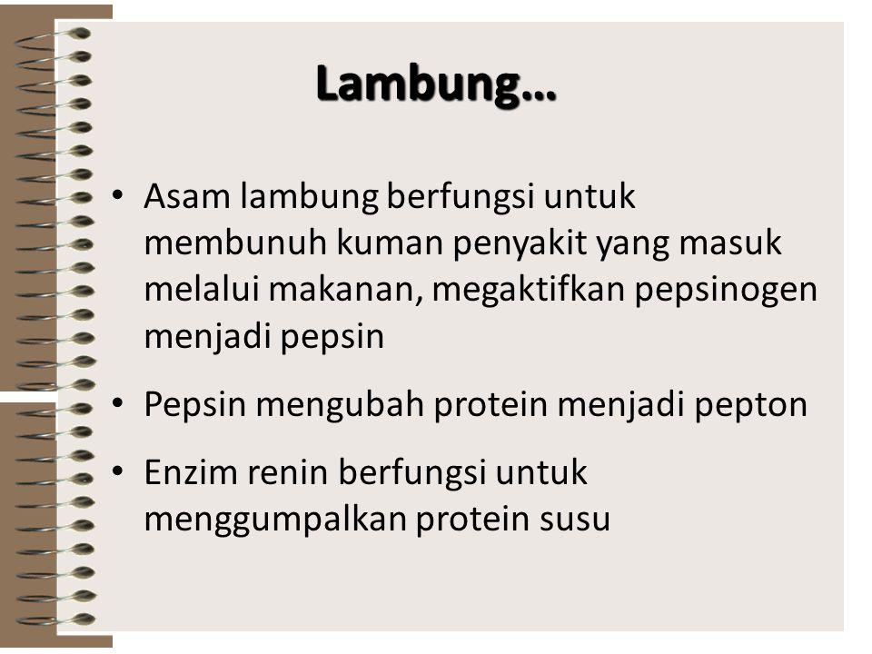 Lambung… Asam lambung berfungsi untuk membunuh kuman penyakit yang masuk melalui makanan, megaktifkan pepsinogen menjadi pepsin.