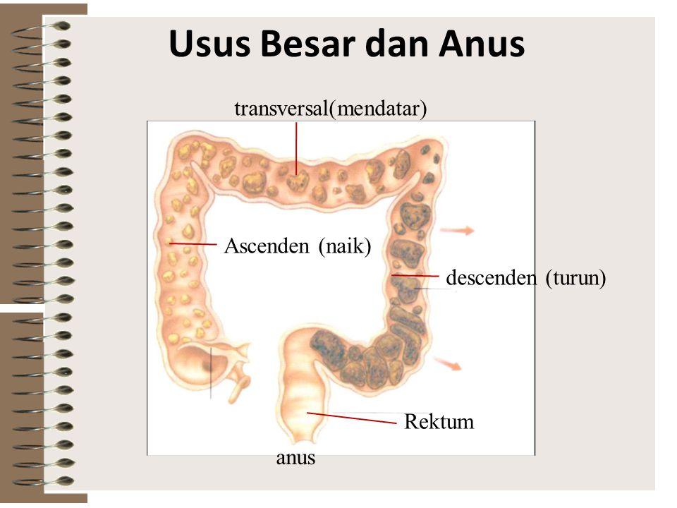 Usus Besar dan Anus transversal(mendatar) Ascenden (naik)