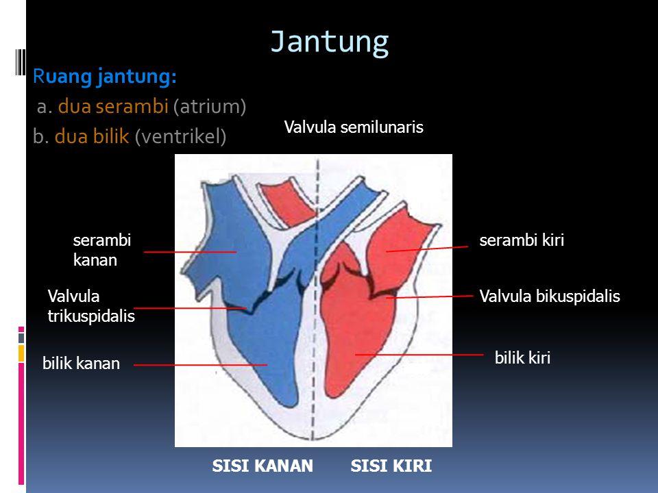 Jantung Ruang jantung: a. dua serambi (atrium)