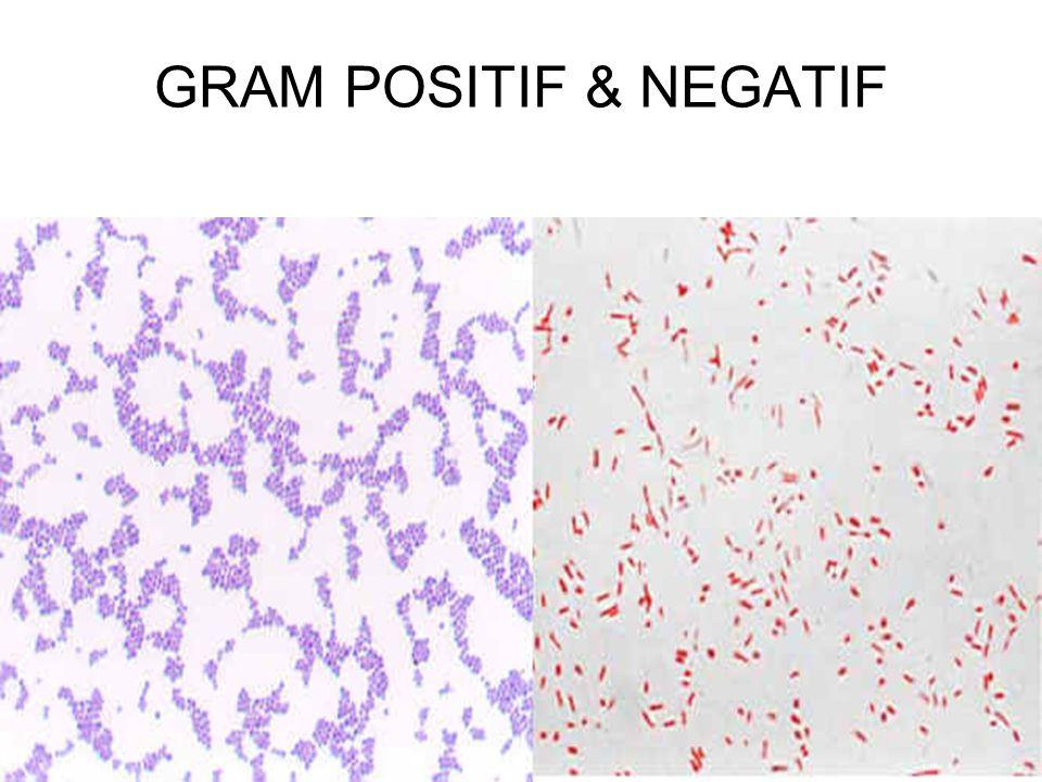 GRAM POSITIF & NEGATIF