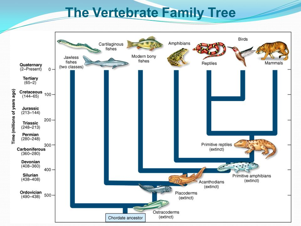 The Vertebrate Family Tree