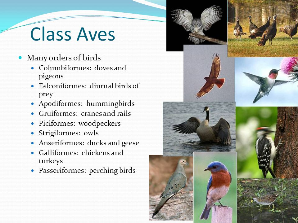 Class Aves Many orders of birds Columbiformes: doves and pigeons