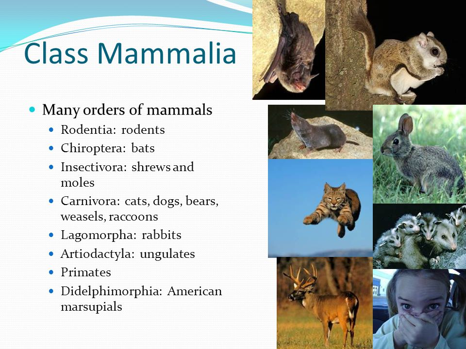 Class Mammalia Many orders of mammals Rodentia: rodents