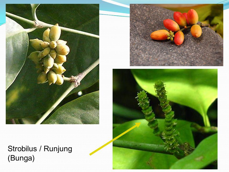 Strobilus / Runjung (Bunga)