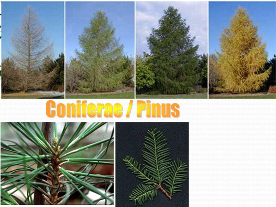 Coniferae / Pinus