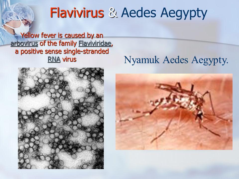 Flavivirus & Aedes Aegypty