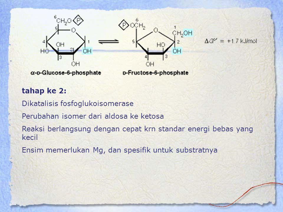 tahap ke 2: Dikatalisis fosfoglukoisomerase. Perubahan isomer dari aldosa ke ketosa.