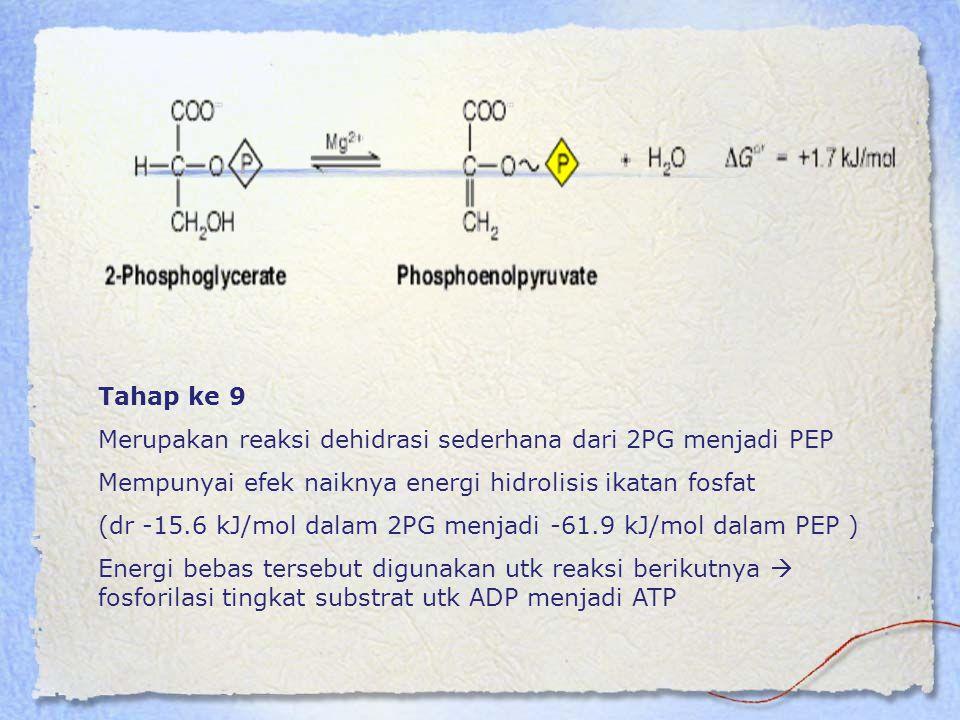 Tahap ke 9 Merupakan reaksi dehidrasi sederhana dari 2PG menjadi PEP. Mempunyai efek naiknya energi hidrolisis ikatan fosfat.