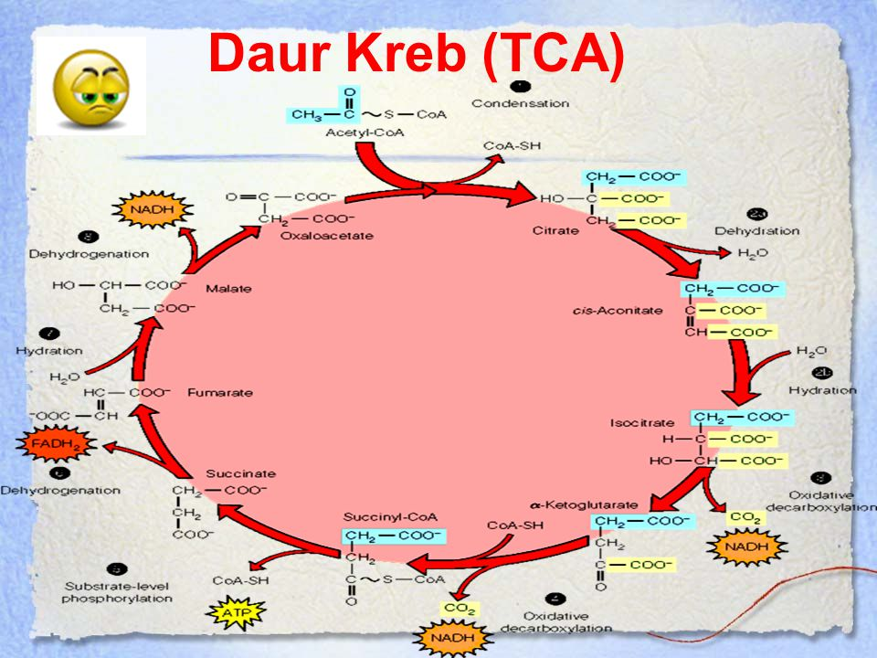 Daur Kreb (TCA)