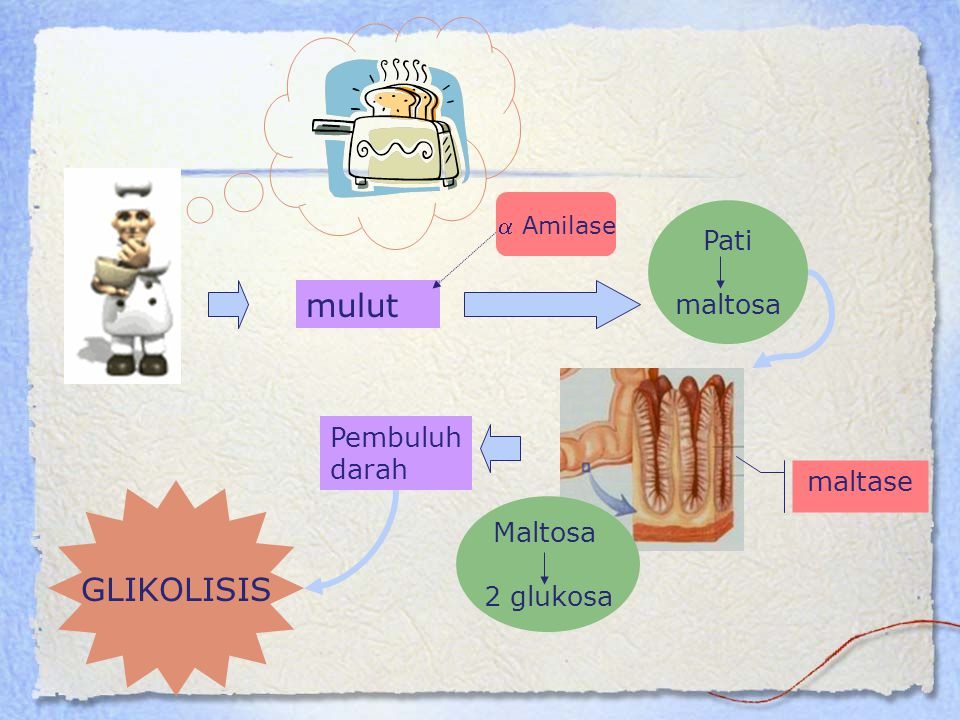 mulut GLIKOLISIS Pati maltosa Pembuluh darah maltase Maltosa 2 glukosa