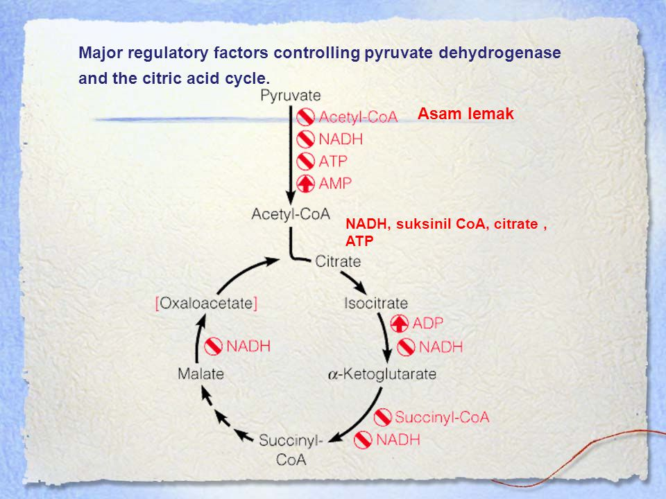 Major regulatory factors controlling pyruvate dehydrogenase and the citric acid cycle.