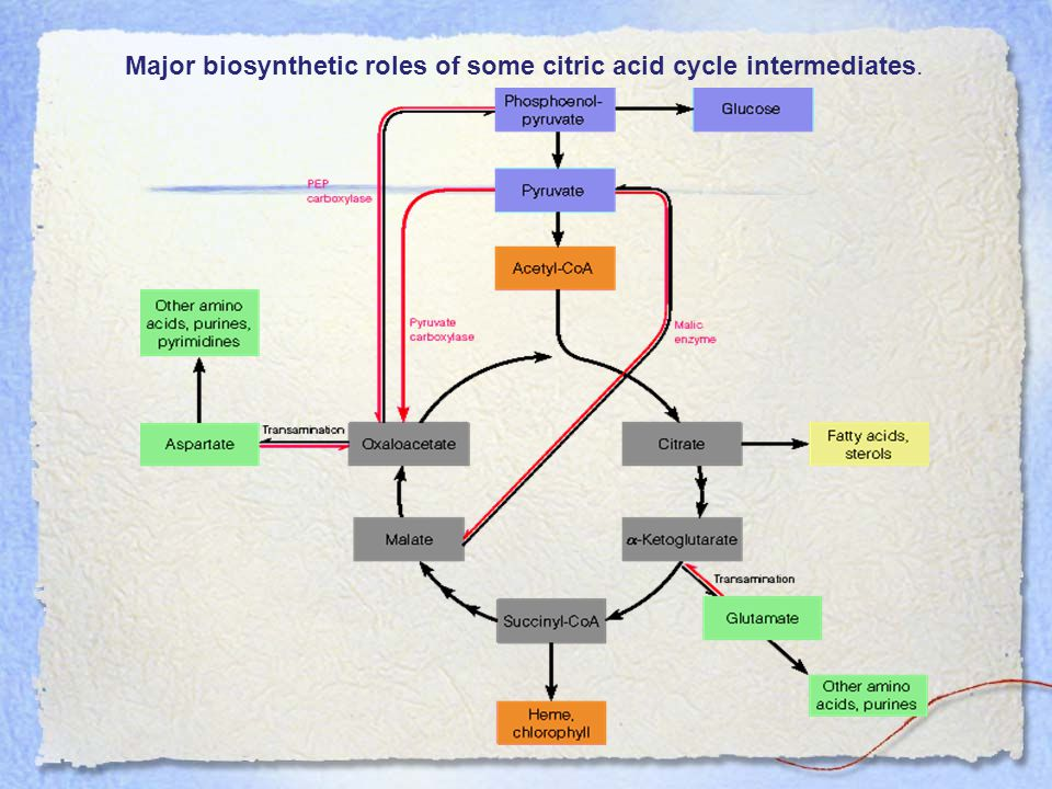 Major biosynthetic roles of some citric acid cycle intermediates.