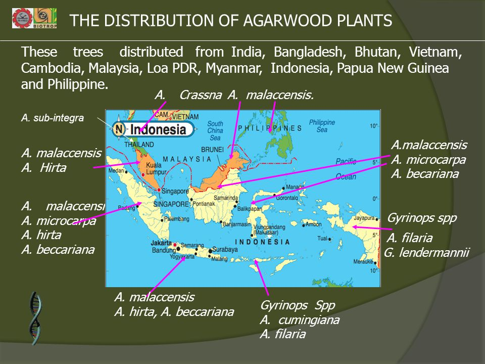 THE DISTRIBUTION OF AGARWOOD PLANTS