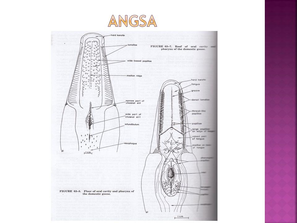 ANGSA