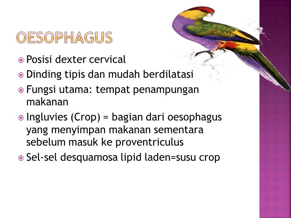 Oesophagus Posisi dexter cervical Dinding tipis dan mudah berdilatasi