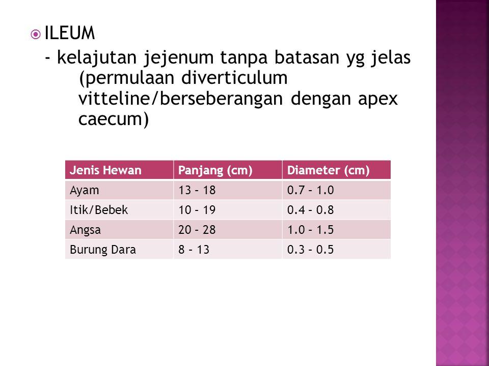 ILEUM - kelajutan jejenum tanpa batasan yg jelas (permulaan diverticulum vitteline/berseberangan dengan apex caecum)