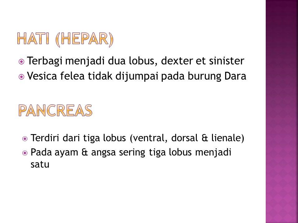 Hati (hepar) pancreas Terbagi menjadi dua lobus, dexter et sinister