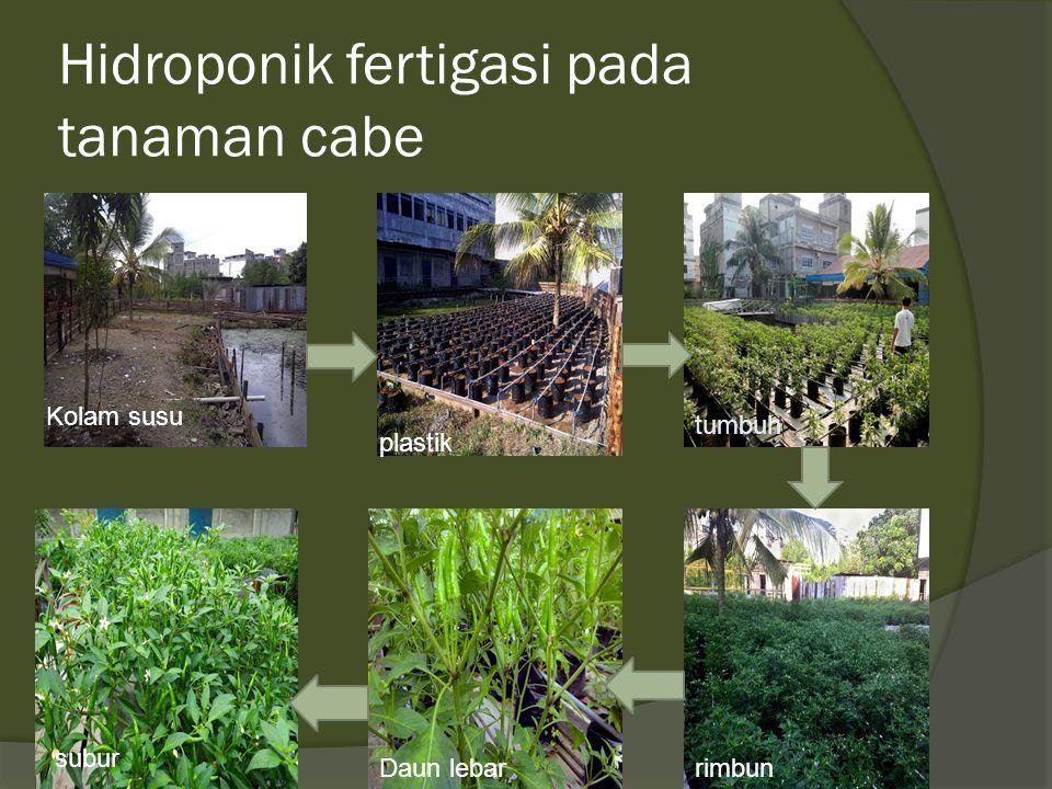 Hidroponik fertigasi pada tanaman cabe