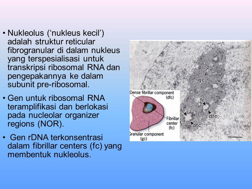 Nukleolus ('nukleus kecil') adalah struktur reticular fibrogranular di dalam nukleus yang terspesialisasi untuk transkripsi ribosomal RNA dan pengepakannya ke dalam subunit pre-ribosomal.