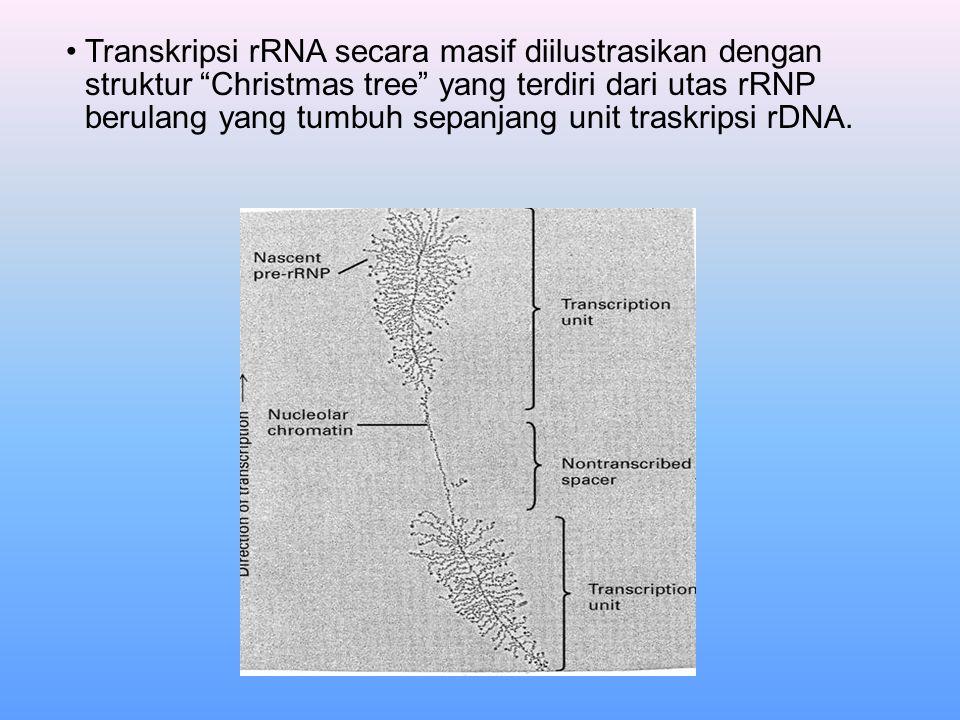 Transkripsi rRNA secara masif diilustrasikan dengan struktur Christmas tree yang terdiri dari utas rRNP berulang yang tumbuh sepanjang unit traskripsi rDNA.