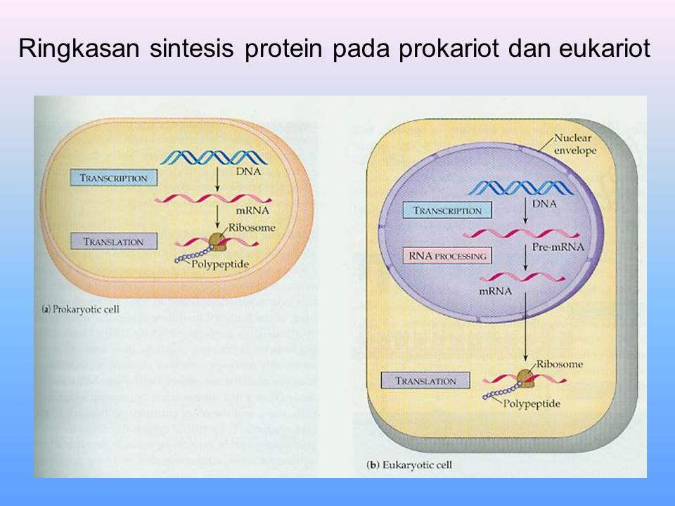 Ringkasan sintesis protein pada prokariot dan eukariot