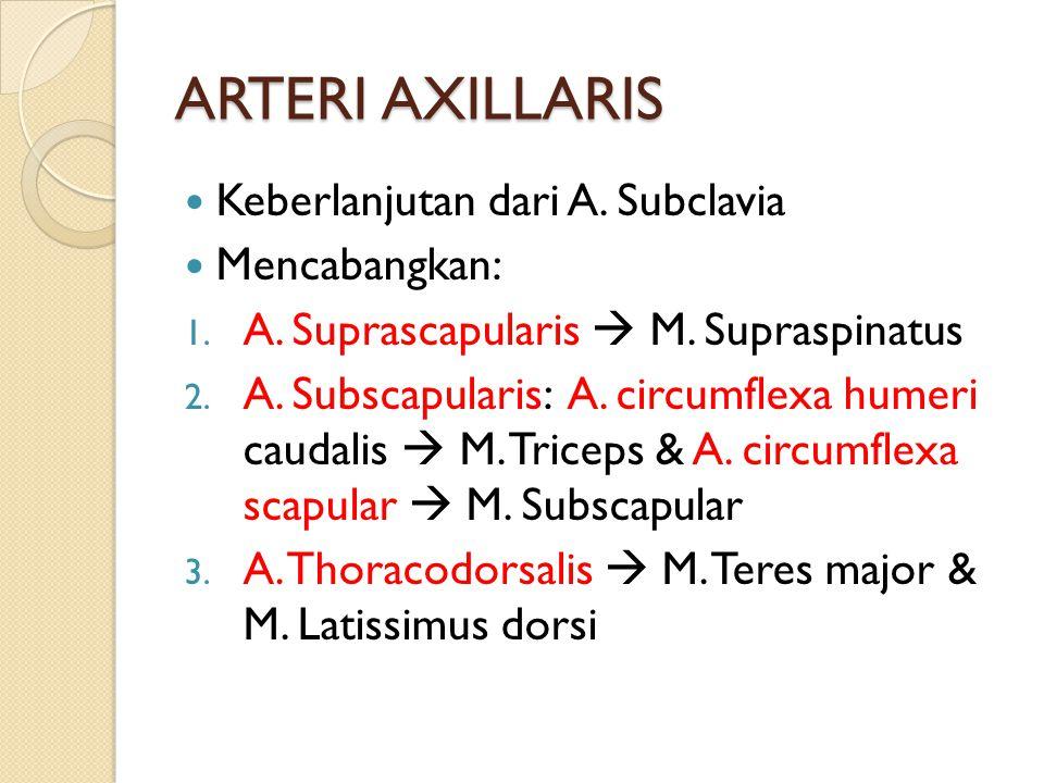 ARTERI AXILLARIS Keberlanjutan dari A. Subclavia Mencabangkan: