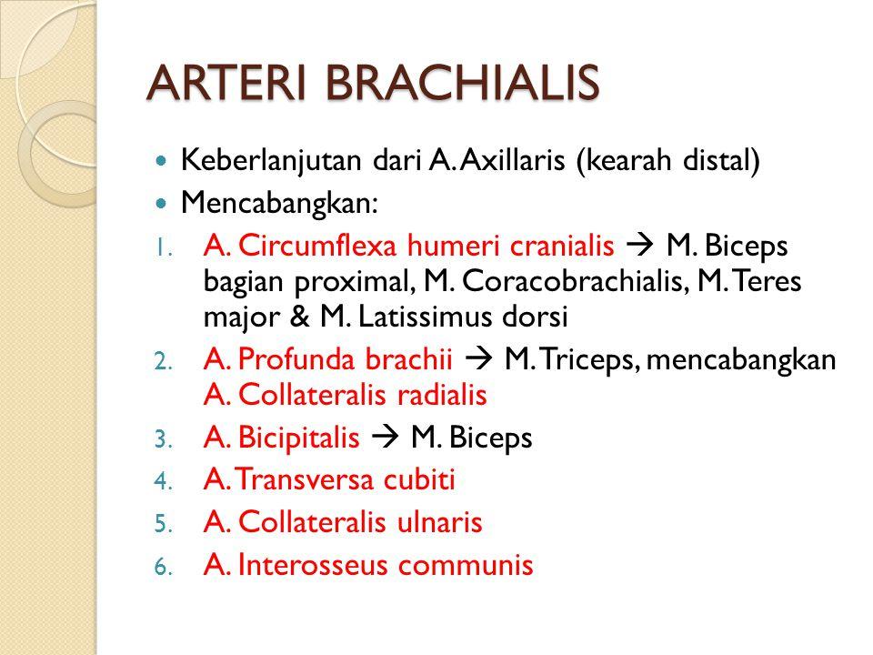 ARTERI BRACHIALIS Keberlanjutan dari A. Axillaris (kearah distal)