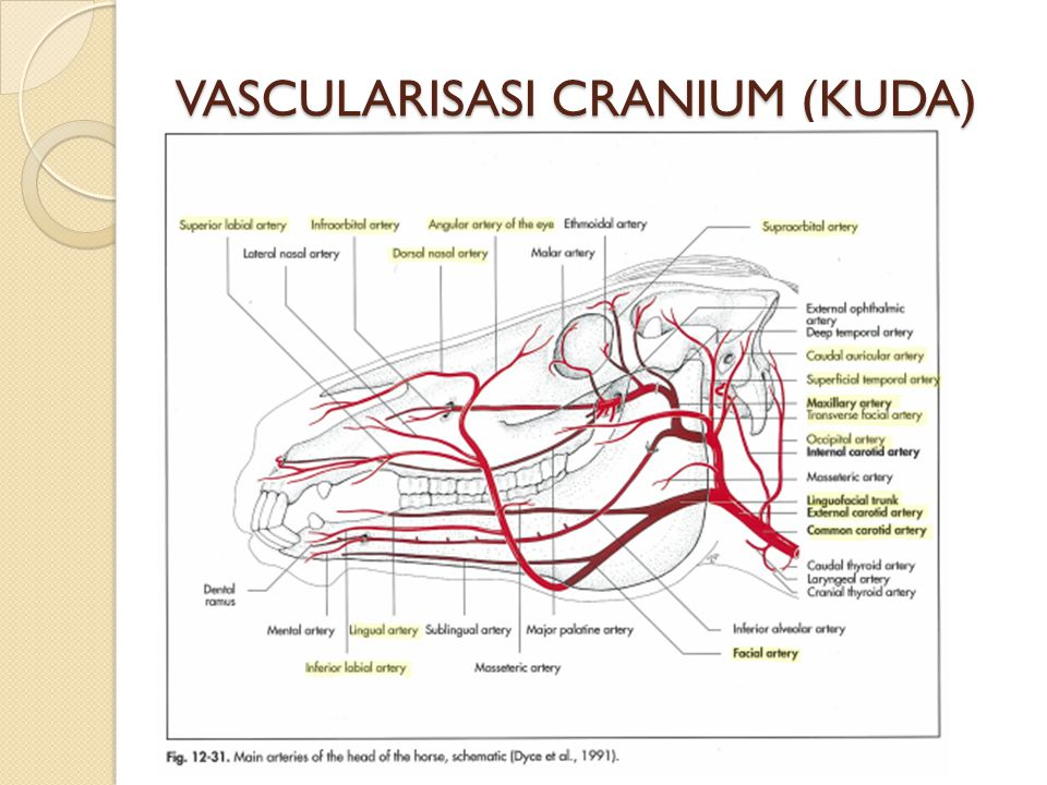 VASCULARISASI CRANIUM (KUDA)