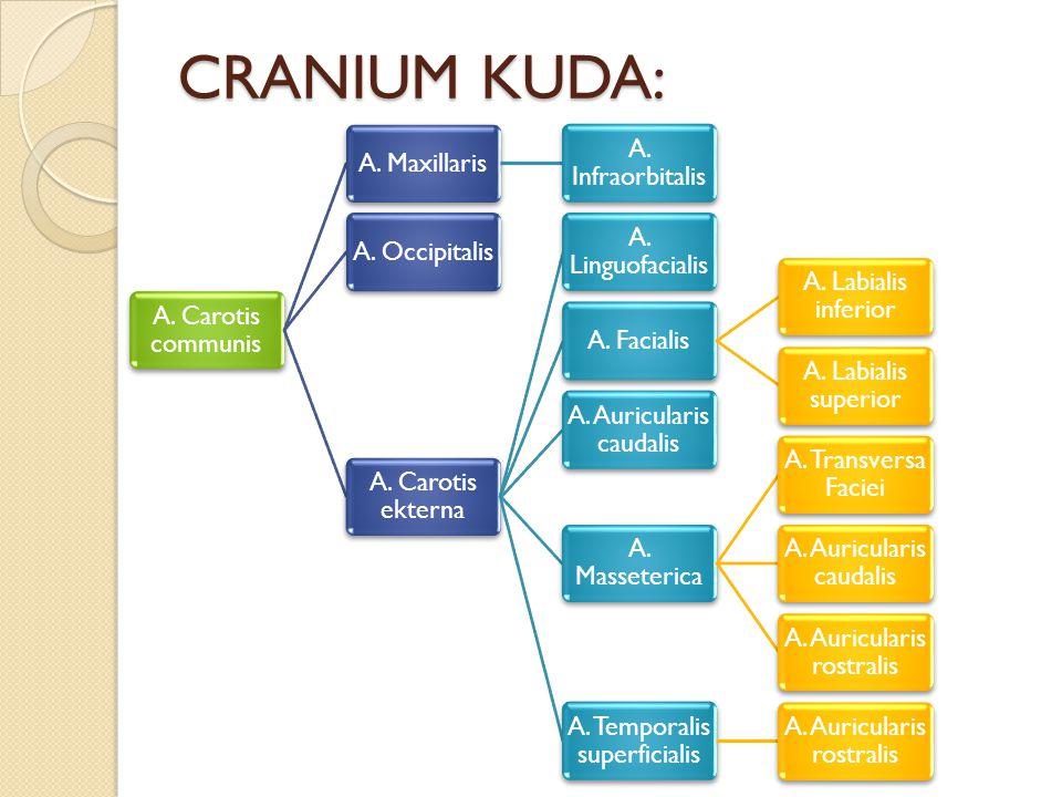 CRANIUM KUDA: A. Carotis communis A. Maxillaris A. Infraorbitalis
