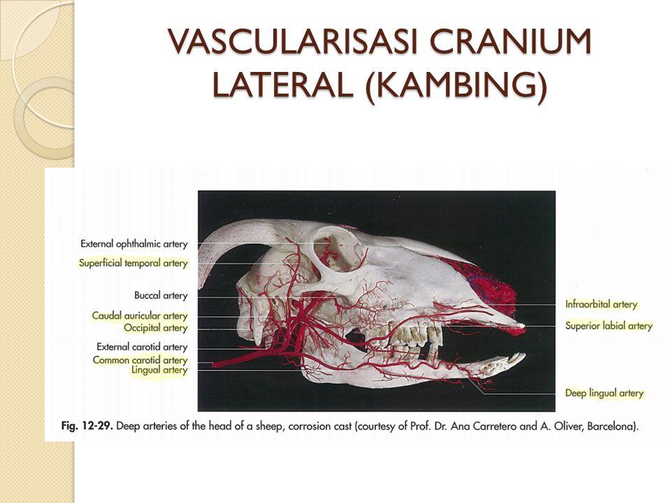 VASCULARISASI CRANIUM LATERAL (KAMBING)