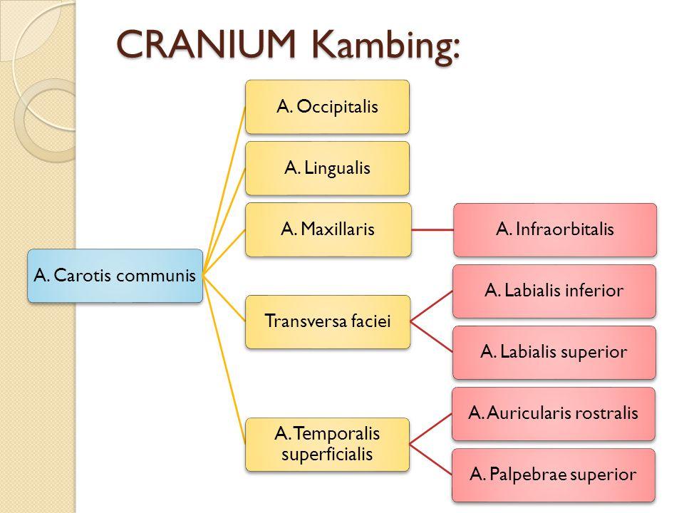 CRANIUM Kambing: A. Carotis communis A. Occipitalis A. Lingualis